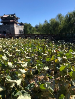 Huge Lilypads at the Summer Palace